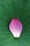 Pétalo de Lotus Imagen de archivo libre de regalías