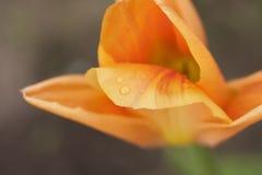 Pétalo de un primer anaranjado del tulipán foto de archivo