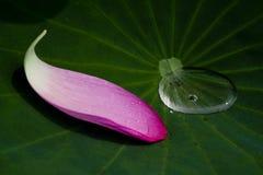 Pétalo del loto en la hoja Imagenes de archivo