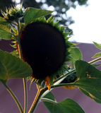 Pétalo menos girasoles en la puesta del sol imagen de archivo libre de regalías