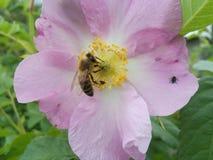 Pétalo, oferta, rosa, hermoso, agradable, trabajador, pistilo, estambre, abeja, presa, insecto, verde, color, amarillo Imagenes de archivo