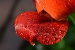 Pétalo rojo del tulipán con descensos de rocío foto de archivo