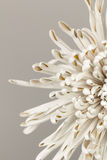 Pétalos abstractos de la flor de la momia Imagen de archivo