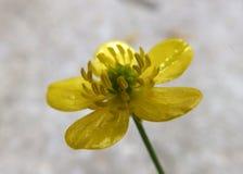 Pétalos amarillos Fotos de archivo libres de regalías