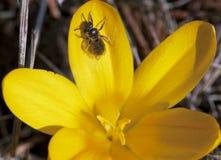 Pétalos amarillos de arrastre de la abeja Imagen de archivo