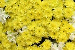 Pétalos amarillos hermosos de la maravilla Fotografía de archivo