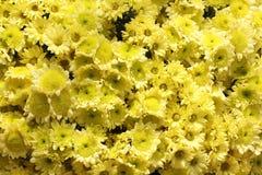 Pétalos amarillos hermosos de la maravilla Imágenes de archivo libres de regalías