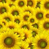 Pétalos amarillos hermosos del girasol Imágenes de archivo libres de regalías