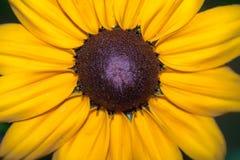Pétalos amarillos hermosos del girasol Foto de archivo