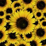Pétalos amarillos oscuros del girasol Fotografía de archivo libre de regalías