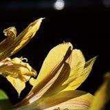 Pétalos amarillos translúcidos del lirio de día encendidos para arriba en la sol de la madrugada foto de archivo libre de regalías