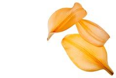 Pétalos anaranjados Fotografía de archivo libre de regalías
