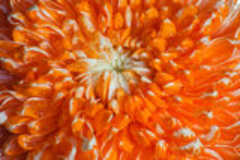 Pétalos anaranjados de la flor. fotografía de archivo libre de regalías