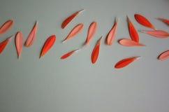 Pétalos anaranjados del gerbera imagen de archivo libre de regalías