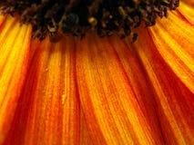 Pétalos anaranjados del girasol Foto de archivo