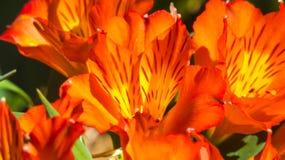 Pétalos anaranjados vibrantes Imagen de archivo