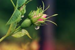Pétalos asperjados con gotas de lluvia Primer de la flor de Rose Flor r fotos de archivo