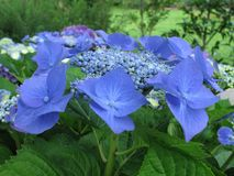 Pétalos azules 3 Imagen de archivo libre de regalías