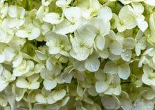 Pétalos blancos de la hortensia con las gotas de agua Foto de archivo
