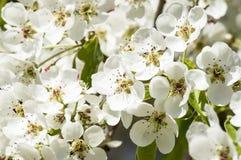 Pétalos blancos de un árbol floreciente Imágenes de archivo libres de regalías