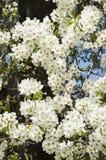 Pétalos blancos de un árbol floreciente Imagen de archivo libre de regalías