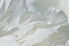 Pétalos blancos del peony Imagen de archivo libre de regalías