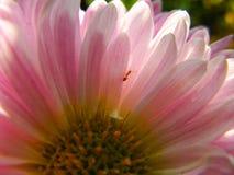Pétalos blancos y rosados de la flor del aster de China con una pequeña hormiga imagen de archivo libre de regalías