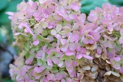 Pétalos blancos y rosados de la hortensia en Bush Imágenes de archivo libres de regalías