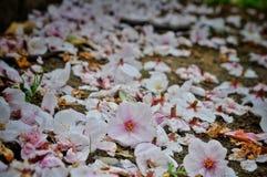 P?talos caidos de Sakura del rosa en la tierra fotografía de archivo