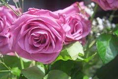 pétalos color de rosa Imágenes de archivo libres de regalías