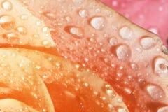Pétalos color de rosa anaranjados con descensos del agua Imágenes de archivo libres de regalías