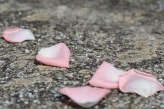 Pétalos color de rosa caidos Foto de archivo libre de regalías