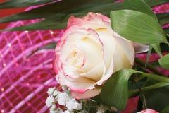 Pétalos color de rosa delicados preciosos con los bordes rosados Imagen de archivo
