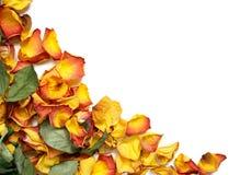 Pétalos color de rosa marchitados Imagen de archivo libre de regalías