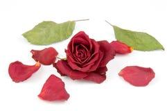 Pétalos color de rosa rojos Imagenes de archivo