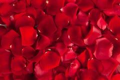 Pétalos color de rosa rojos Imagen de archivo