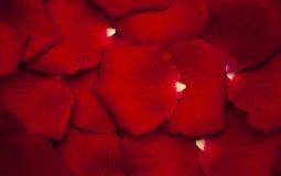 Pétalos color de rosa rojos Fotos de archivo