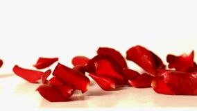 Pétalos color de rosa rojos que caen sobre la superficie blanca metrajes