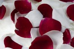 Pétalos color de rosa rojos y blancos Fotos de archivo
