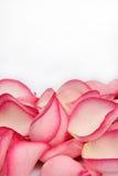 Pétalos color de rosa rosados Fotografía de archivo libre de regalías