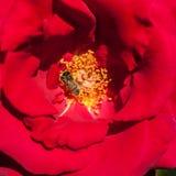 Pétalos color de rosa y estambres rojos Fotos de archivo