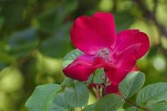 Pétalos color de rosa y hojas rojos brillantes del verde Foto de archivo