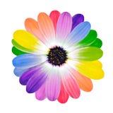 Pétalos coloreados multi del arco iris de la flor de la margarita Imagen de archivo