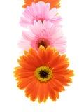 Pétalos coloridos del gerbera imagen de archivo