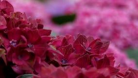 Pétalos de flores rojas Ciérrese encima de tiro focusing almacen de metraje de vídeo
