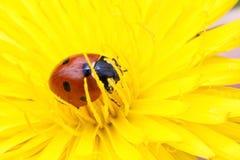 Pétalos de la flor amarilla el pequeño dormir del ladybug Foto de archivo libre de regalías