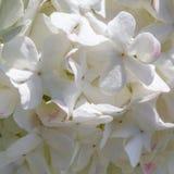 Pétalos de la flor blanca que se unen cercanos Foto de archivo