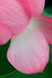 Pétalos de la flor de loto Fotos de archivo