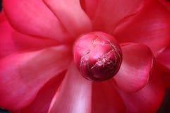 Pétalos de la flor del Alpinia Foto de archivo libre de regalías