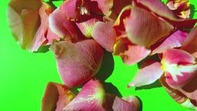 Pétalos de la flor en la pantalla verde almacen de metraje de vídeo